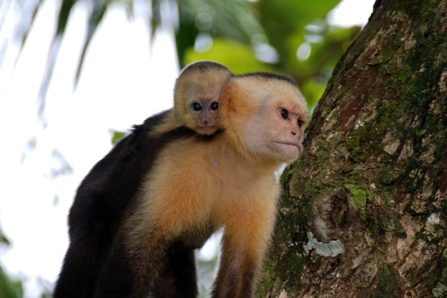 Totenkopfäffchen in Costa Rica