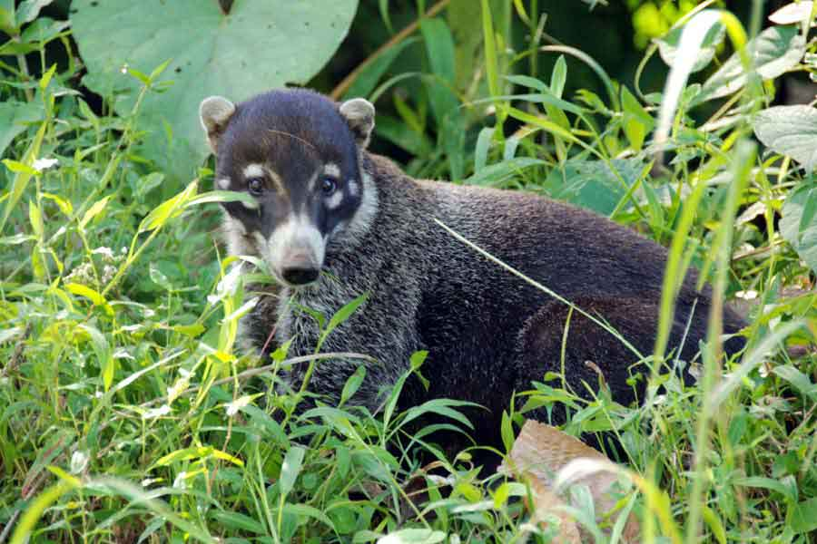 Nasenbär in Costa Rica
